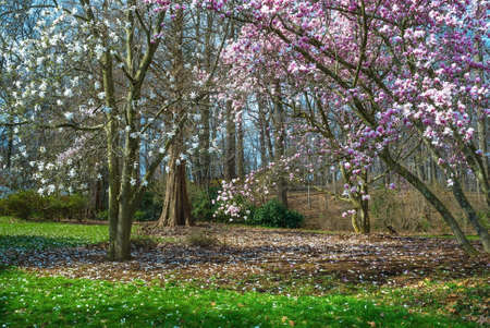 dogwood tree: Spring dogwood, magnolia and cyprus trees at the David C  Shaw Arboretum in Holmdel New Jersey  Stock Photo