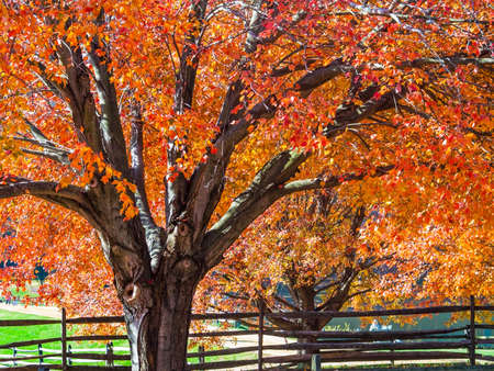 Vibrant Autumn colors on this maple tree in Holmdel Park in New Jersey  photo