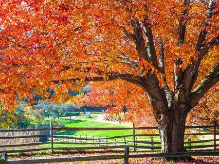 Vibrant Fall colors on this maple tree in beautiful Holmdel Park in Monmouth County New Jersey  photo