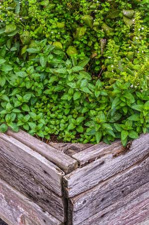 新しい spearmint, 木製のハーブ ガーデンのレモンバーム 写真素材