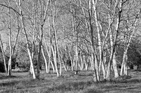arboles blanco y negro: Una visión en blanco y negro de árboles de abedul blanco en un campo en el Alto Freehold New Jersey