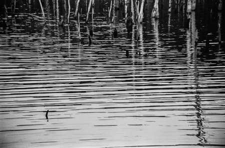 arboles secos: Una fotograf�a en blanco y negro de alto contraste de las ondas del lago y �rboles muertos en el Manasquan Reservorio en Nueva Jersey.