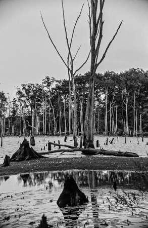 arboles secos: �rboles muertos y stumpd en el Manasquan embalse en el central de Nueva Jersey. Fotograf�a blanco y negro de la pel�cula. Foto de archivo
