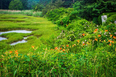 A view of a Cape Cod wetland with tiger lilies and wildflowers in Osterville, Massachusetts.