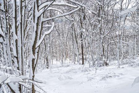 freshly fallen snow: Appena caduta neve copre gli alberi in questo bosco Central New Jersey.