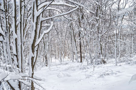 freshly fallen snow: Freshly fallen snow covers the trees in this Central New Jersey woodland.