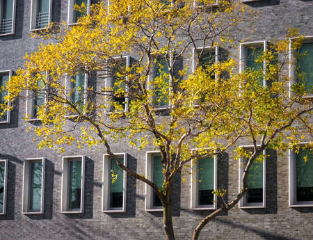 many windows: Bright yellow Autumn leaves contrasted against a building with many windows in New York City. Stock Photo