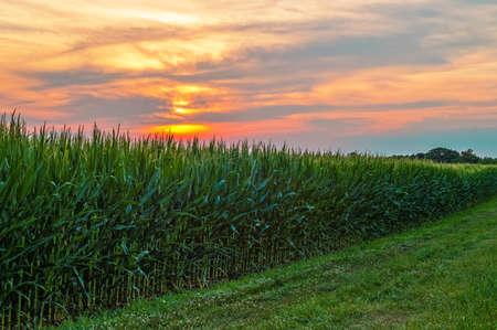 Una puesta de sol de verano colorido sobre un campo de maíz en el centro de Nueva Jersey. Foto de archivo