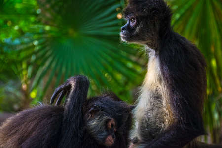 Spider monkeys in a tranquil mood photographed in the jungle near Riviera Maya in Mexico.