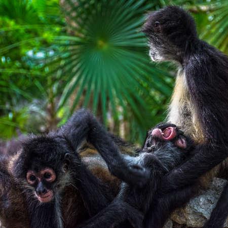 riviera maya: Una familia de monos ara�a en la selva cerca de la Riviera Maya en M�xico.