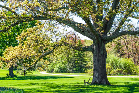long island: A large shade tree in a Long Island park on a nice Spring day. Stock Photo