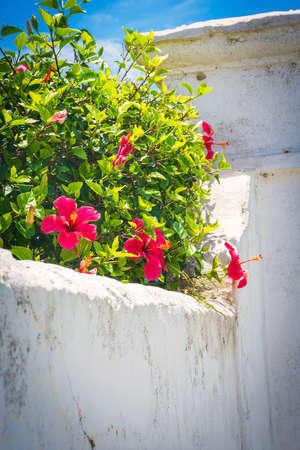 bermuda: Red hibiscus growing over a rustic white wall in St. Georges Bermuda.