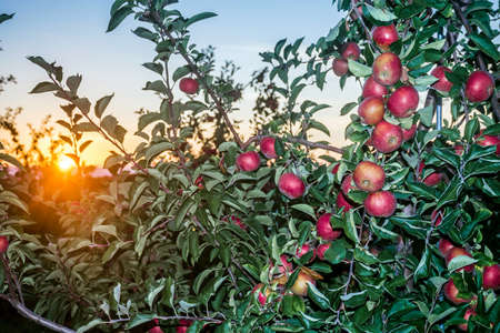 tree farming: The sun sets over this apple orchid in Central New Jersey.