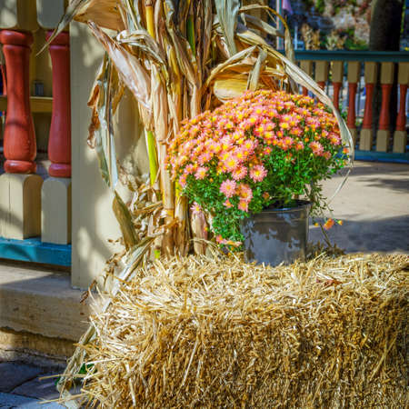 corn flower: A pink and yellow mum on display on top of a haystack for a Fall festival in Jim Thorpe Pennsylvania. Stock Photo