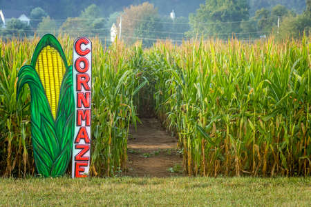 corn stalk: A cornmaze in this cornfield in rural Central New Jersey.