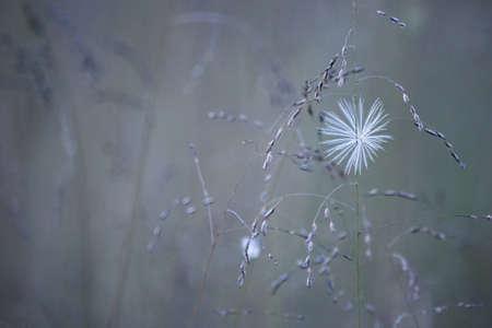 wispy: A wispy seed soft focus neutral background image taken in a meadow.