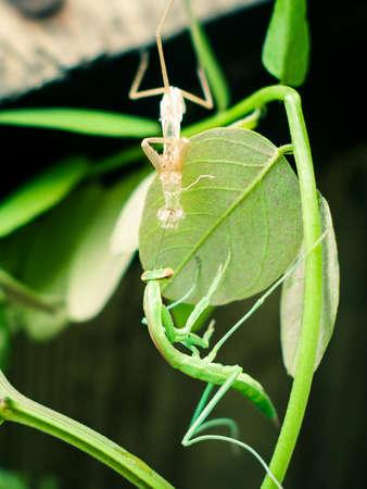 A close-up look of a praying mantis shedding it's exoskeletons. Banco de Imagens - 72180438