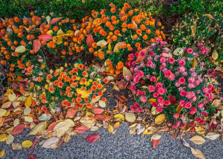 autumn colour: Colorful mums flowers intertwined with Autumn leaves background image.