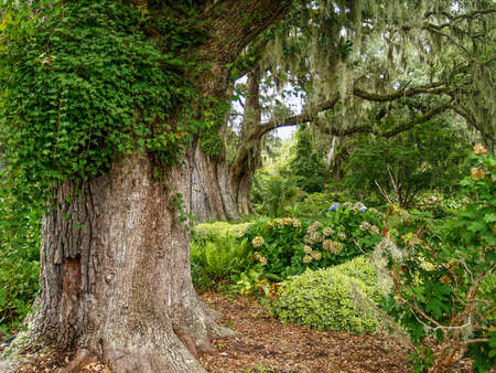 Large Giant Oaks in Brookgreen gardens near Myrtle Beach in South Carolina.
