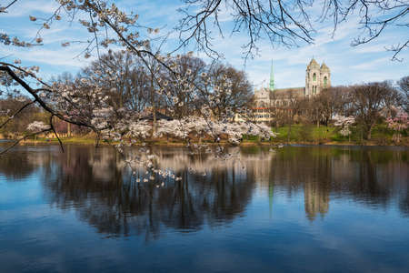 Cherry blossoms in bloom over the lake in Branch Brook Park in Newark New Jersey.