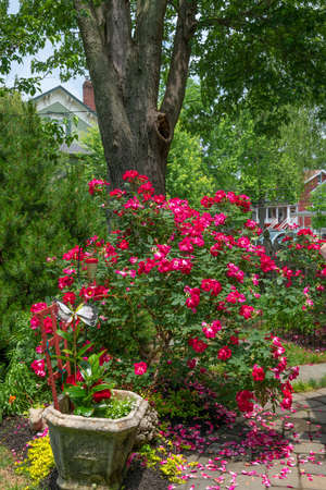 Red knockout roses in this backyard garden in Central New Jersey.