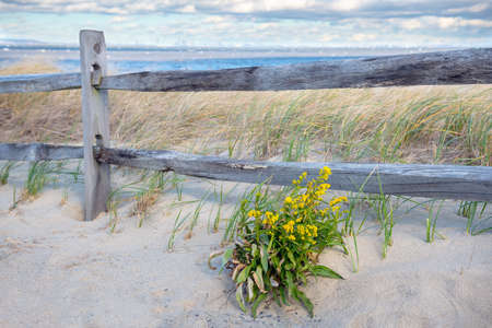 Goldenrod with windswept grass along the beach in Bayshore Waterfront Park in Monmouth County New Jersey.
