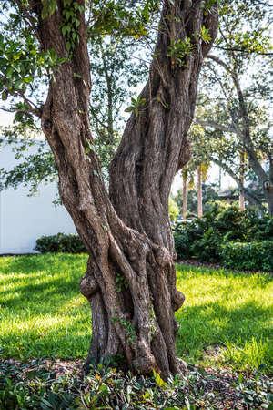 An interesting tree along the Riverwalk Park in Fort Lauderdale Florida.