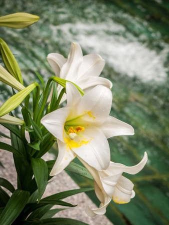 The Easter lily in full bloom against a water background.