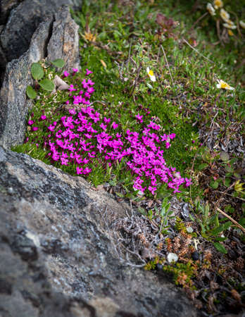 Delicate pink wildflowers on a mountaintop tundra in Nome Alaska.