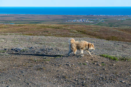 Red an Alaskan Husky on Anvil Mountain in Nome Alaska.