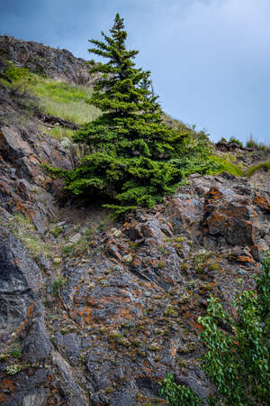 A lone  pine tree on rock cliff with wildflowers in Turnagain Arm near Anchorage Alaska.