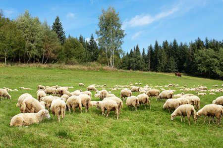 pasture fence: Sheep herd on mountain pasture Stock Photo
