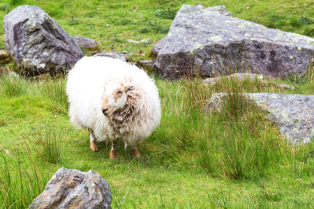 wales: Sheep in Snowdonia mountains - Wales UK