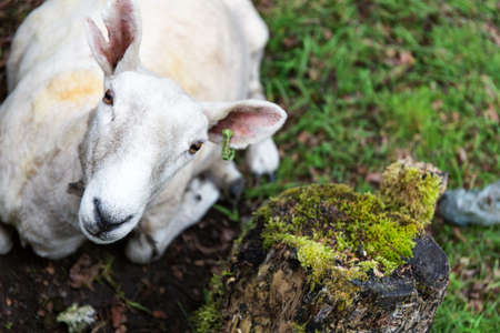 Curious sheep laying on the grass