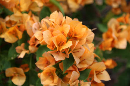 Orange Bougainvilleas