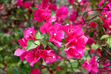 Pink Bougainvillea Stock Photo - 16925286