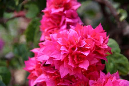 Pink Bougainvilleas Stock Photo