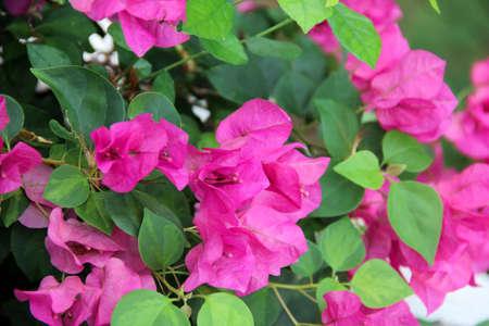 Soft pink Bougainvillea Stock Photo
