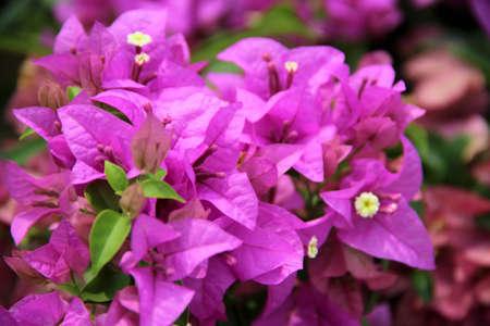 Violet Bougainvilleas Stock Photo - 16925265
