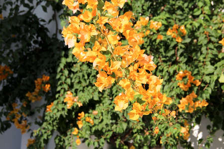 Yellow Bougainvilleas Stock Photo - 16925268