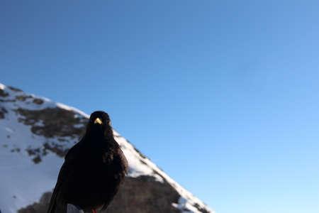 Blackbird looking