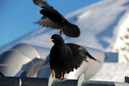 Blackbirds activity