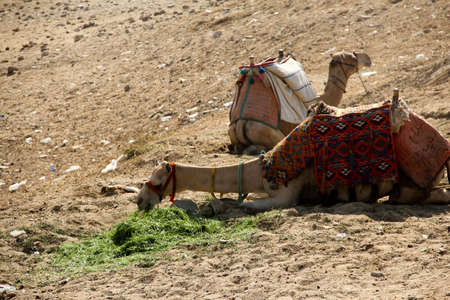 camel have a meal