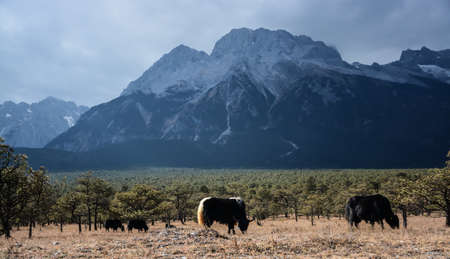 capped: The snow capped mountains and yak Stock Photo