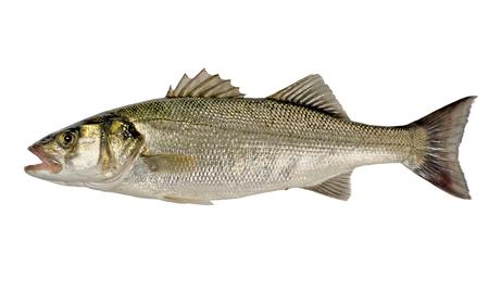 Appena catturato Sea Bass (Dicentrarchus labrax) isolato su sfondo bianco