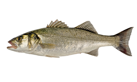 single fin: Freshly Caught Sea Bass (Dicentrarchus labrax) Isolated on White Background