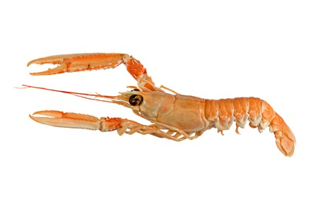 Langoustine also known as Dublin Bay Prawn or Norway Lobster (Nephrops norvegicus) Isolated on White Background photo