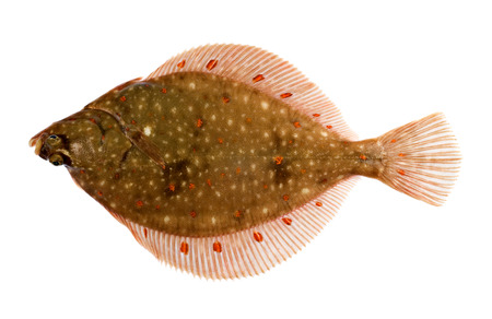 Freshly Caught Plaice Fish (Pleuronectes platessa) Isolated on White Background