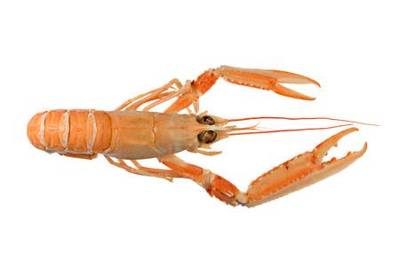 Scampi, noto anche come Dublin Bay gamberi o isolata Lobster Norvegia (Nephrops norvegicus) su sfondo bianco Archivio Fotografico