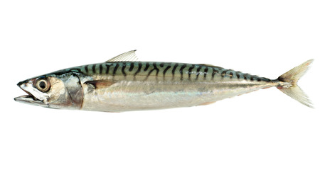 Mackerel Fish (Scomber scrombrus) Isolated on White Background photo